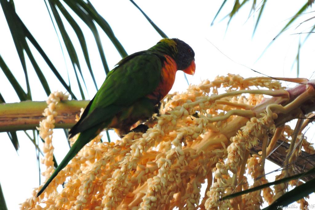 Rainbow Lorikeet eating Palm Tree Flowers