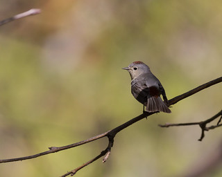 Lucy's Warbler | by no ceiling
