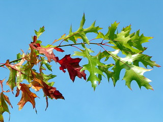 Red oak (Quercus rubra) | by Peter O'Connor aka anemoneprojectors