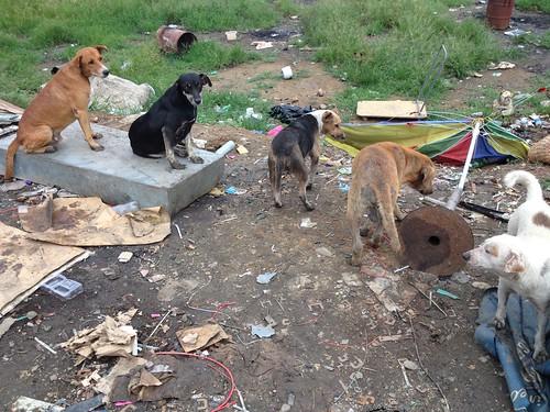 Dogs lined up at Ranadi Landfill | by VincentVerheyen.com