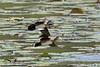 African Pygmy Goose, Sacred Lake, Madagascar by Terathopius