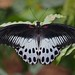 Blue Mormon Swallowtail - Photo (c) pamsai, 200K views, thank you, some rights reserved (CC BY-SA)