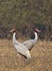 Sarus crane (Gruidae) by Abhijit Joshi