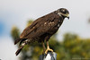 Aguililla Negra Mayor (juvenil) - Great Black Hawk (juvenile) by abasora