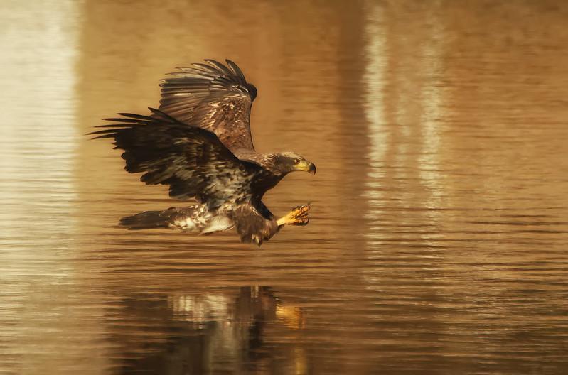 Juvenile Bald Eagle...Classic Fishing Pose