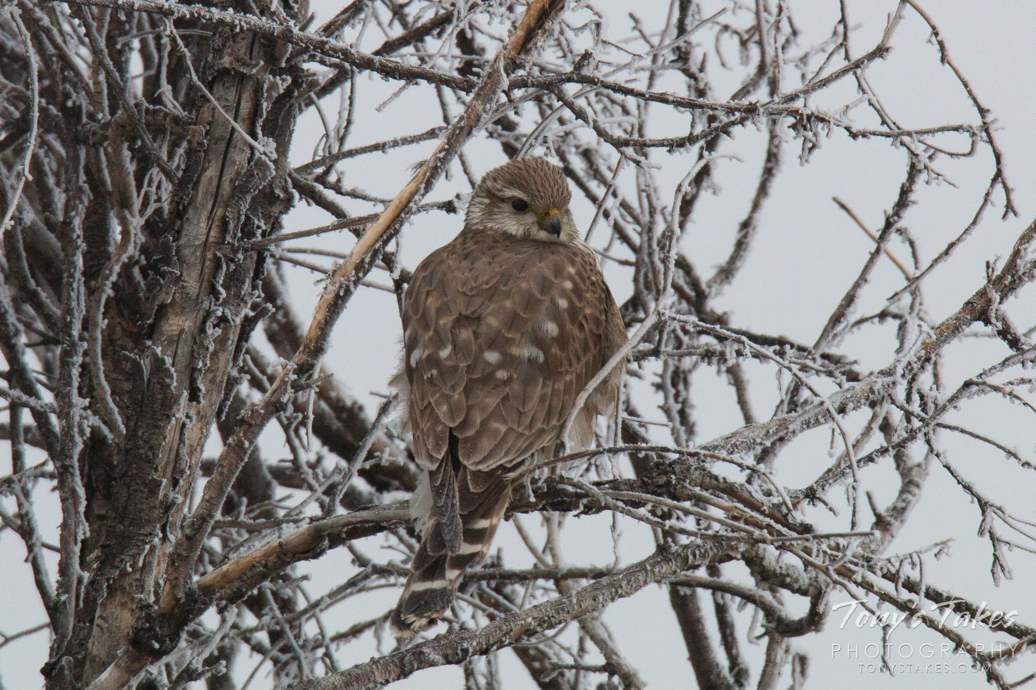 A Merlin sits in a frost-covered tree in Adams County, Colorado. (© Tony's Takes)