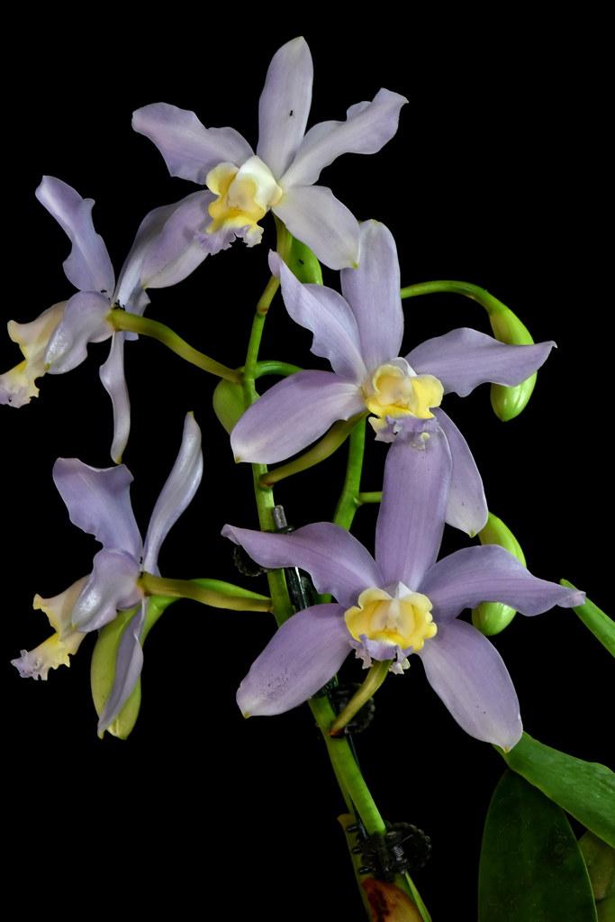 Cattleya loddigesii 'Blue Sky'