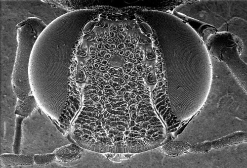 Orussid wood wasp (Hymenoptera) - tubercles on vertex of head