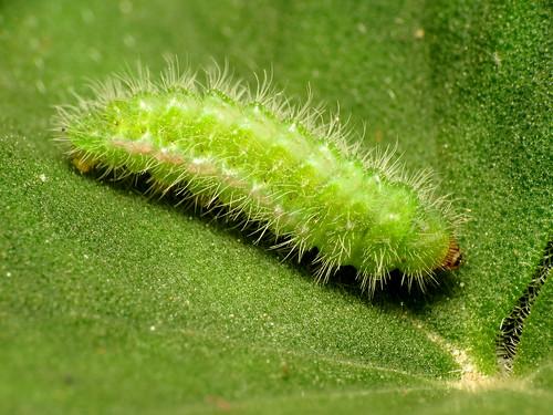 Geranium Bronze Caterpillar