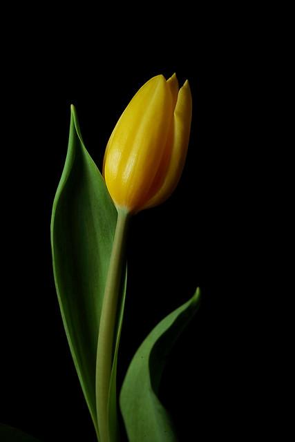 tulip - light fun :)