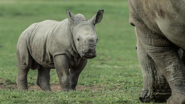Southern White Rhino (Ceratotherium simum simum)
