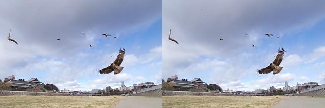 black kites, stereo parallel view