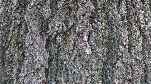 california abstract tree nature cemetery grey bark april ukiah 2015 95482 noncoloursincolour pe016