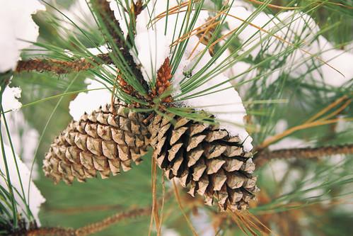 winter snow macro landscape pinecones dorameulman