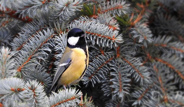 A széncinege (Parus major)