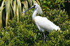 Wild Royal Spoonbill in breeding season (New Zealand) by |kris|