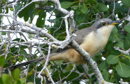 Mangrove Cuckoo . Coccyzus minor | by gailhampshire