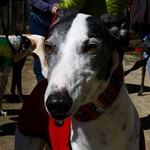 Greyhound Adventures at Minuteman National Park, Lexington MA, April 10th 2016