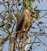 Whistling Kite (Haliastur sphenurus) - panting in 38 degree Celsius heat by Geoff Whalan