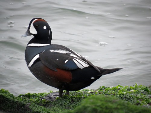 Harlequin Duck | by Justin L. Lee