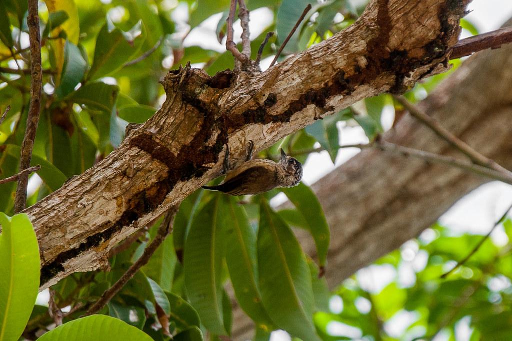 Pica-pau-anão-da-caatinga/Ochraceous Piculet (Picumnus limae)