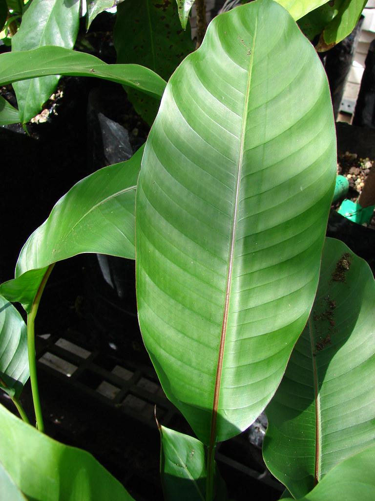 starr-070906-8370-Heliconia_stricta-Dwarf_Jamaican_leaf-Kula_Ace_Hardware_and_Nursery-Maui