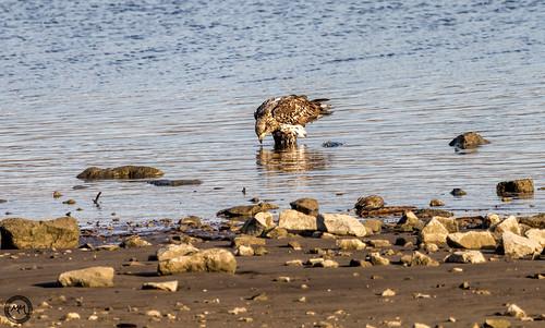 bird water birds sunrise canon midwest baldeagle missouri raptor mississippiriver february alton 2016 eos7d riverlandsmigratorybirdsanctuary