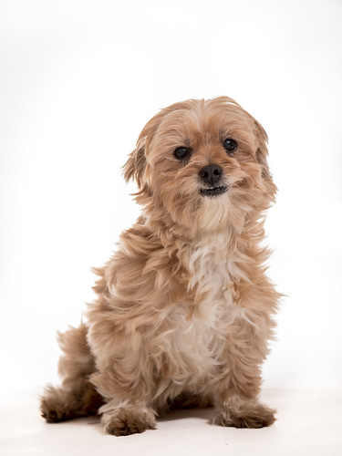 Doushie in front of a white screen. 10 years of age, 3 years with us. Saved from a puppyfarm as breedingmachine. She is a darling and very adorable. | by Angelbattle bros