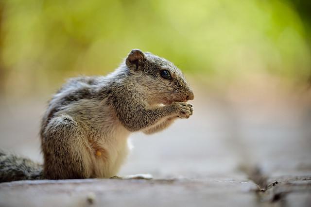 Indian Squirrel.