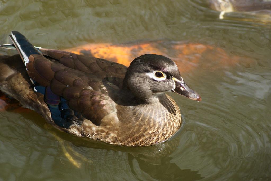 Female  Wood Duck Japanese Garden  Ft Worth botanic Gardens