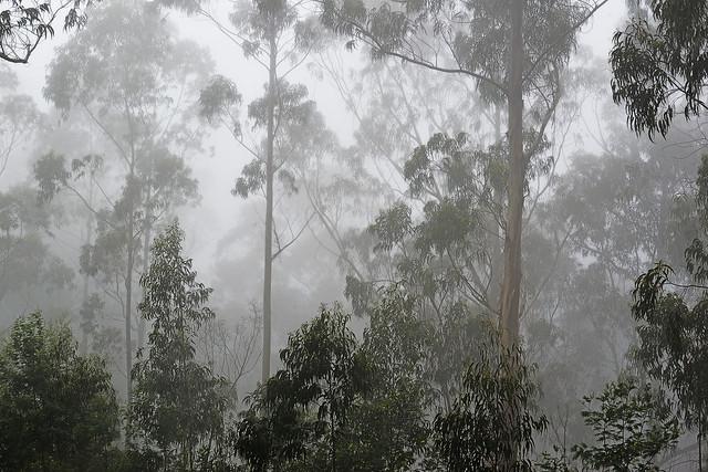 Forêt d'eucalyptus... dans la brume