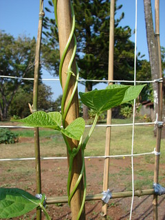 starr-080914-9940-Phaseolus_vulgaris-twining_up_bamboo_pole-Makawao-Maui | by Starr Environmental