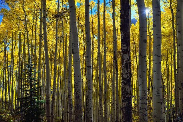 Sunlight Through the Aspen Trees