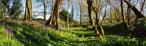 life new blue trees sun green leaves bluebells spring woods shine shropshire abbeywoods