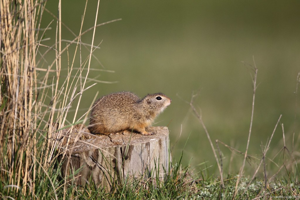 European ground squirrel 03