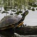 A high-colored Florida Chicken Turtle at Lake Apopka Wildlife Drive March 2016