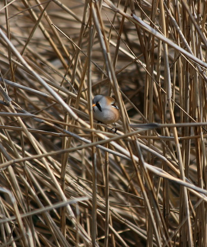 Bearded Reedling (Panurus biarmicus) | by Oretani Wildlife (Mike Grimes)