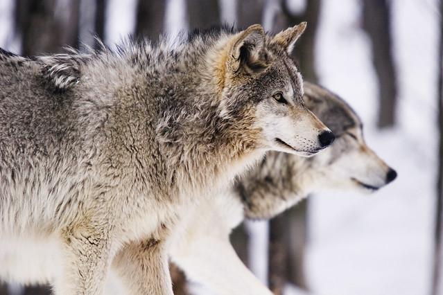 Timberwolves Omega Park Quebec Canada Savetigers81 Flickr