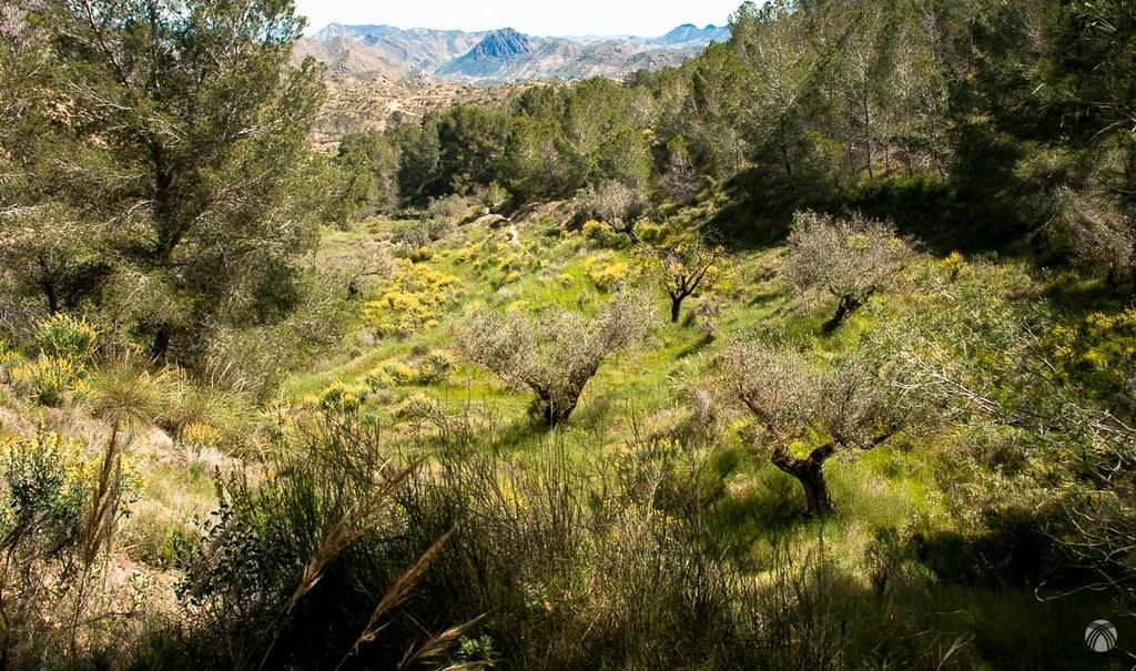 Viejos terrenos de labor con olivos