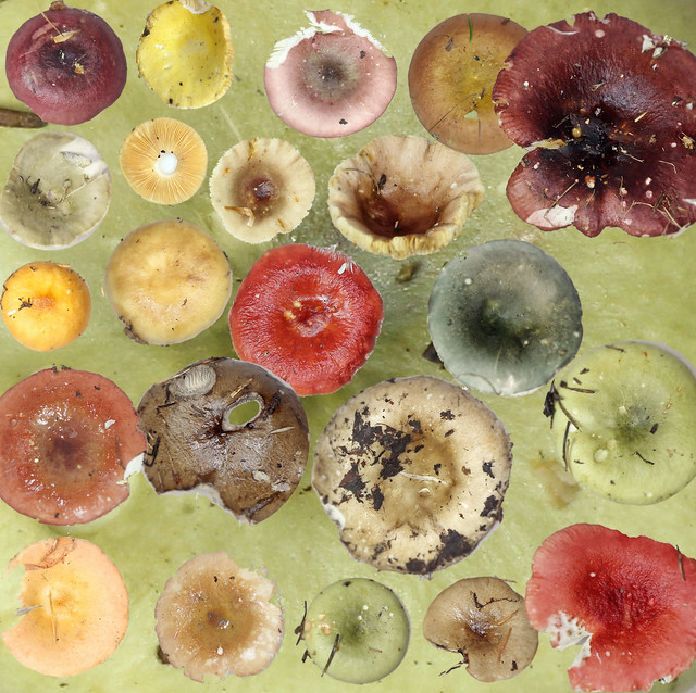 Russula kaleidoscope