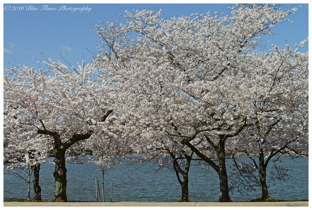 Cherry Blossoms @ the Tidal Basin ©