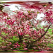 cherry tree in bloom (101/366) by severalsnakes