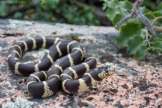 California Kingsnake (Lampropeltis californiae). | by Chad M. Lane