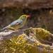 ソウシチョウ(Red-billed leiothrix)