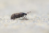 Graptus triguttatus by Will_wildlife