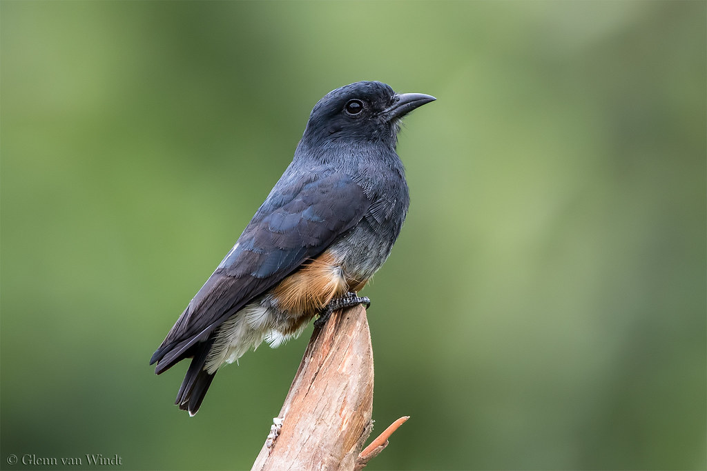 Swallow-winged Puffbird...