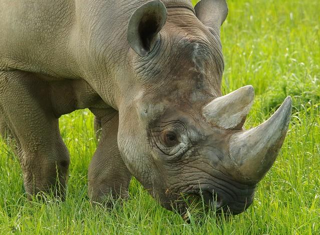 Black Rhino  (17)