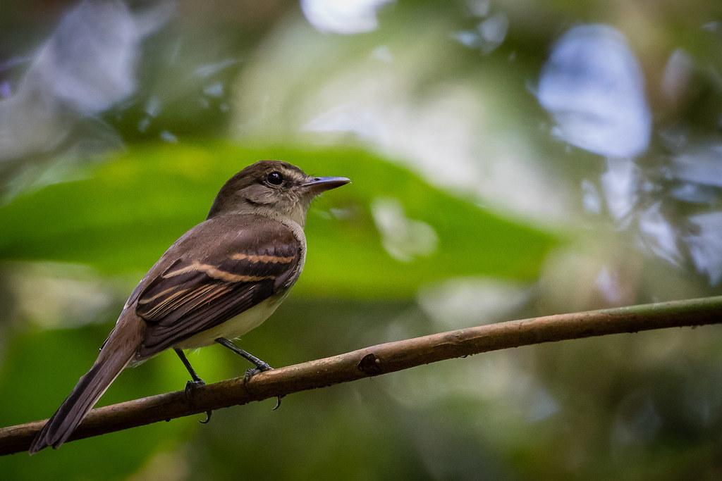Guaracavuçu (Cnemotriccus fuscatus) Fuscous Flycatcher