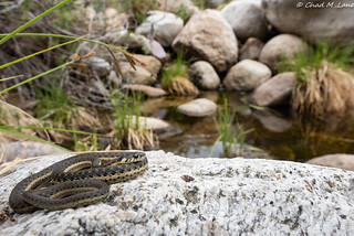 Two-striped Gartersnake (Thamnophis hammondii) | by Chad M. Lane