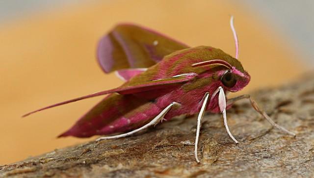 elephant hawk moth - deilephila elpenor